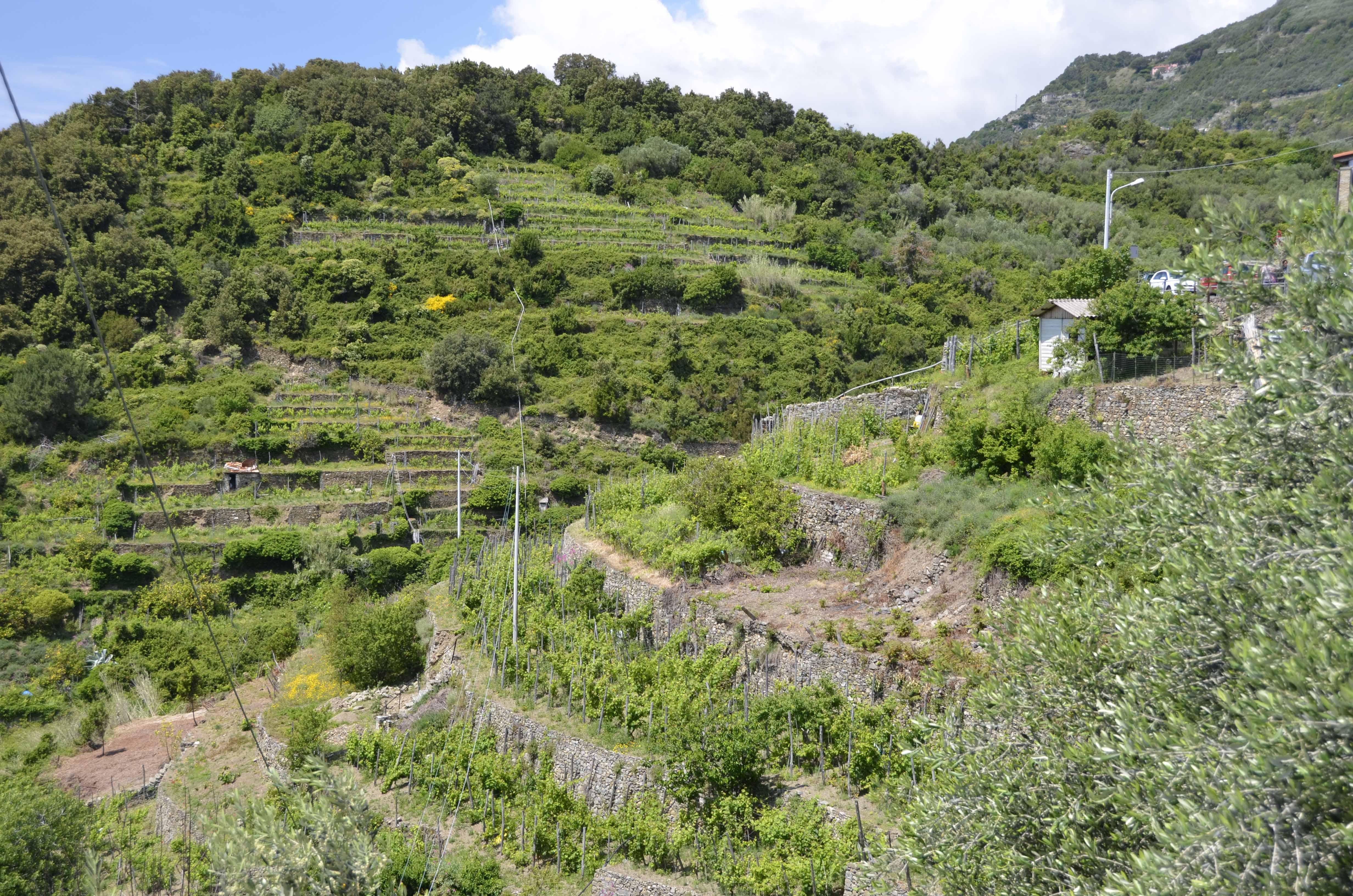 Corniglia, sleepy sweet, terraced hills